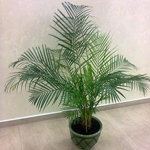 Можно ли дома выращивать финиковую пальму и приметы?