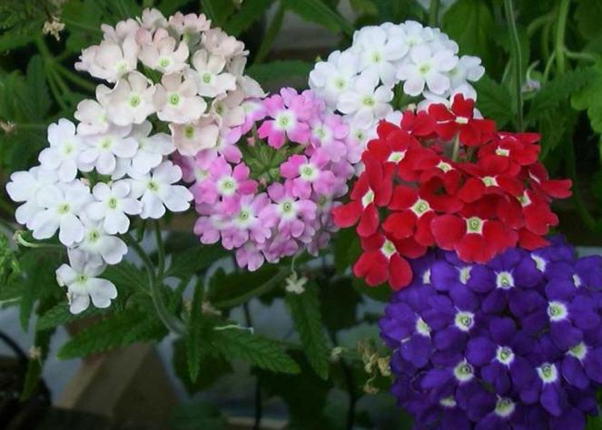 Гладиолус - Магические и целебные свойства растений - Все материалы - • ZonaTigra •